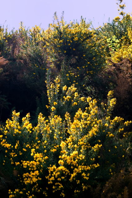 Gorse on the side of a hill